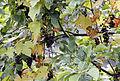 Isabella grapevine - Vitis labrusca 01.jpg