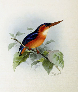 African dwarf kingfisher - Ispidina lecontei (African dwarf kingfisher) by John Gerrard Keulemans