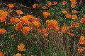 J20150521-0142—Eschscholzia californica—RPBG (19597320238).jpg