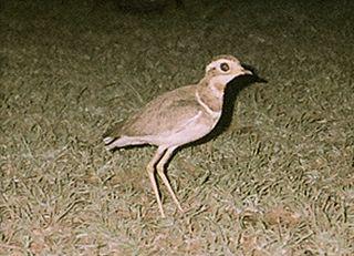 Jerdons courser Species of bird