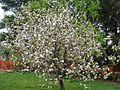 Jabuka u cvatu (Sv.Juraj na Bregu, travanj 2012).JPG