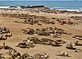 Jackal among Seals looking lost (37730336322).jpg