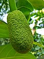 Jackfruit bud of Bangladesh 01.jpg