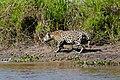 Jaguar (Panthera onca) male walking along the river bank ... (28544269923).jpg