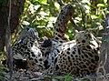 Jaguar (Panthera onca) young male yawning ... (48463065616).jpg