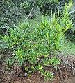 Jarilla, chapulixtle u ocotillo (Dodonaea viscosa) en México.jpg
