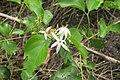 Jasminum malabaricum - Malabar Jasmine at Blathur 2014.jpg