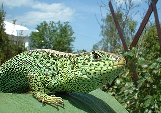 Lacertidae Family of lizards