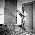 """Ječmen """"švigajo"""" (mlatijo) ob diljo na teraci; potem ga še tučejo s """"cepom"""", Bovec 1952.jpg"""