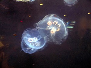 South Carolina Aquarium - Image: Jellyfish at South Carolina Aquarium IMG 4616