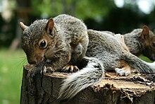 Un très jeune écureuil gris sur une souche d'arbre