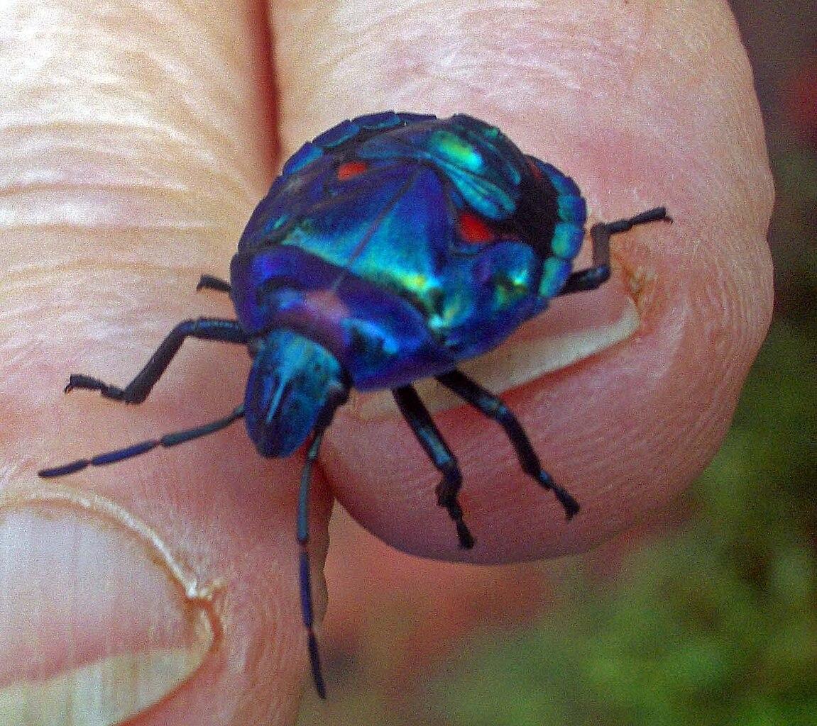 Jewel Beetle | www.imgkid.com - The Image Kid Has It!