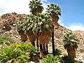 Joshua Tree National Park - 49 Palms Oasis - 06.jpg
