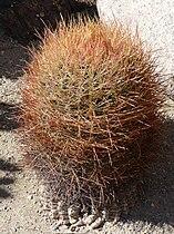 Joshua Tree National Park - Barrel Cactus (Ferocactus cylindraceus).JPG