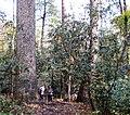 Joyce-kilmer-tree-nc2.jpg