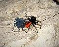 Jumping Spider. Philaeus chrysops probably (31552916878).jpg