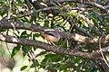 Jungle Babbler (48846940748).jpg