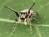 Kaldari Zygoballus rufipes female 02.jpg
