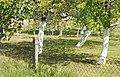Kalkanstrich Obstbäume.jpg