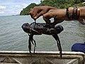 Kepiting Bakau Papua.jpg
