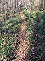Kleines Immergrün im Freiburger Mooswald am Honigbuck 2.jpg