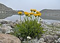 Klosters-Serneus - flowers.jpg