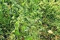 Kluse - Solanum nigrum - Schwarzer Nachtschatten 11 ies.jpg
