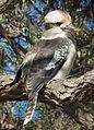 Kookaburra-Burnie-Park-20160422-001.jpg