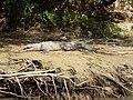 Krokodyl nad rzeką.JPG