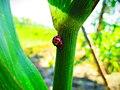 Kumbang koksi.jpg