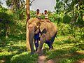 Kuruba children riding a young cow AJTJ.jpg