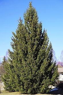Picea Abies Wikipedia