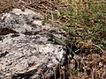 Lézard des murailles (Podarcis muralis) - Causse de Méjean.jpg