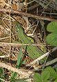 Lacerta viridis03.jpg