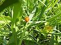 Ladybug in grass (9187955322).jpg