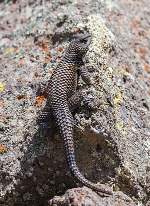 Lizzard (Sceloporus mucronatus), archeological area of Cantona, Puebla, Mexico.