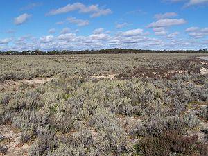 Mallee (biogeographic region) - Tecticornia low shrublands bordering Lake Johnston, with Eucalyptus mallee on the horizon