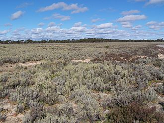 Eastern Mallee - Tecticornia low shrublands bordering Lake Johnston, with Eucalyptus mallee on the horizon