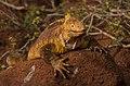 Land Iguana (6519199207).jpg