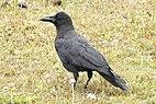 Large-billed Crow Corvus macrorhynchos japonensis by Dr. Raju Kasambe DSCN4907 (15).jpg
