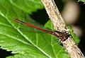 Large Red Damselfly. Male. Pyrrhosoma nymphula (34293802670).jpg