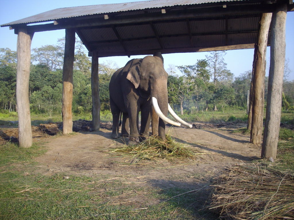 1024px-Largest_elephant_bull_at_Sauraha_Elephant_stables_in_chitwan..jpg