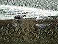 Larus fuscus y Larus argentatus.003 - Bath.jpg