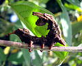 Larva of a Butterfly stage3.jpg