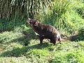 Lascar Tasmanian Devil (Unique to Tasmania) (4552482826).jpg