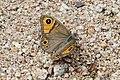 Lasiommata maera (Nymphalidae) (33172101536).jpg