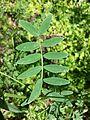 Lathyrus niger sl5.jpg