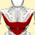Latissimus dorsi muscle above2.png