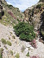 Laurier-rose (Gorges de Kourtaliotiko près de Preveli en Crète).jpg