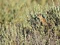 Least chipmunk on Seedskadee National Wildlife Refuge (35300001772).jpg